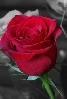 Perfect Red Rose 1080p Hd Wallpaper 1080p Hd Wallpapers Stuff To