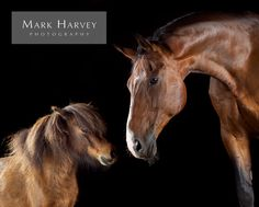 Big Horse Little Horse by Mark Harvey  Shetland, Friendship, Closeness, Photography, Refined, Art, Uk Horse Photographer, Refined Equine Portraiture.