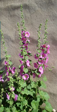 Spring in Old Town 2012 - Pink Hollyhocks