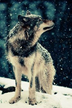 """We have doomed the Wolf not for what it is, but for what we have deliberately and mistakenly perceived it to be, the mythologized epitome of a savage, a ruthless killer… Which is, in reality no more than a reflex image of our self.""  ~ Farley Mowat"