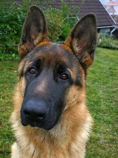 GSD German Shepherd Husky, German Shepherds, Puppies And Kitties, Doggies, Loyal Dogs, Schaefer, Kinds Of Dogs, Belgian Malinois, Animals Of The World
