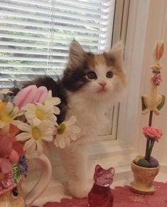 Kashi Saga - Kittens - Norwegian Forest Cats Breeder New Jersey, USA