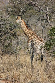Giraffen zie je overal tussen de bomen