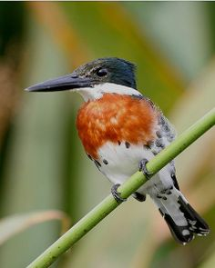 Amazon Kingfisher (Chloroceryle amazona), Male in Ibera wetlands, Argentina.