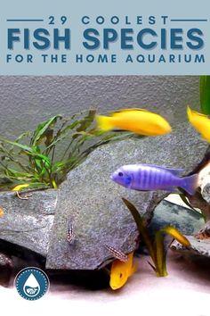 Biotope Aquarium, Cichlid Aquarium, Cichlid Fish, Cichlids, Tropical Freshwater Fish, Freshwater Aquarium Fish, Tropical Fish, Tropical Aquarium, Home Aquarium Fish