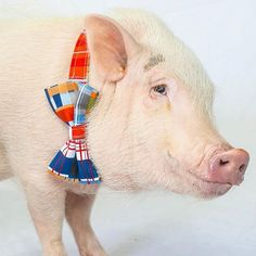 Fashionable pig! #pig #pigstyle #pigbowtie #peachykeenpets #pets #petstyle
