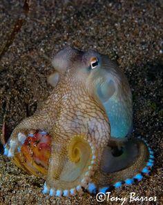 Pacific Veined Octopus AKA Coconut Octopus (Amphioctopus marginatus)