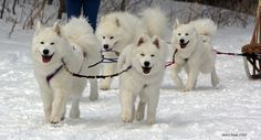 Samoyeds Puppies-My Snow used to pull me on a sled like this when I was about four!