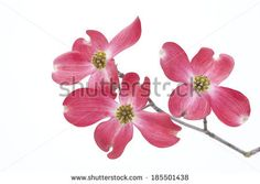 Dogwood Stock Photos, Dogwood Stock Photography, Dogwood Stock ...