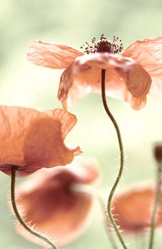 Peach Poppies