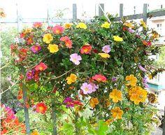 Portulaca aka Moss Rose - drought resistant, trails, full sun