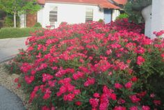 Is Knockout Rose Down for the Count? DEADLY THREAT: Rose rosette disease. It's a virus -- find out what you need to do to protect your Knockout roses. NOW.