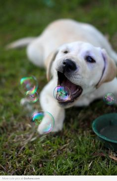 So this puppy is catching bubbles in his mouth. So adorable.
