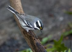 Black-Throated Gray Warbler - saw him in early September 2015 in my birdbath.  The tiny yellow dot by his eye is an important  identifier.  Saw several of them in the woods by Columbia Heights Elementary School in September 2016.