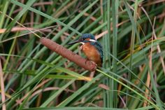 Kingfisher on Cat-tail by Mubi.A
