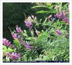Indigofera heterantha | Lambley Nursery  a shrub, 180cm/150cm