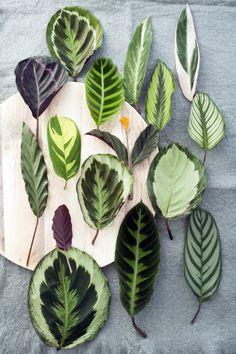 Die Calathea gibt es in vielen verschiedenen Sorten mit unterschiedlichen Blattformen.
