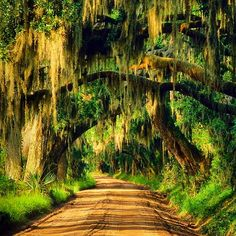 south Carolina in the fall! Spanish moss growing on an oak road, Edisto Island, South Carolina Tillandsia Usneoides, Beautiful World, Beautiful Places, Carolina Do Sul, Edisto Island, Tree Tunnel, Spanish Moss, Wisteria, Belle Photo