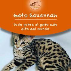 13 Ideas De Gato Savannah Savannah Gatos Gato De Sabana