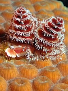 hristmas Tree Worms Christmas tree worms shelter a goby (at left) in their coral reef habitat. Coral reefs thrive in the clear, shallow coastal waters of tropical seas. Underwater Creatures, Underwater Life, Ocean Creatures, Under The Ocean, Sea And Ocean, National Geographic Animals, Vida Animal, Beneath The Sea, Underwater Photography