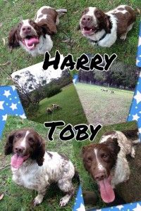 Harry and Toby. kennels ringwood