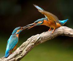 Vogel foto: Alcedo atthis / IJsvogel / Common Kingfisher