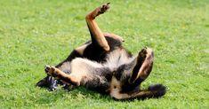 Homemade Dog Shampoo For Itchy Skin – German Shepherd Shop Homemade Dog Shampoo, Best Dog Shampoo, Natural Dog Shampoo, Wintergreen Oil, Tea Tree Soap, Itchy Dog, Liquid Castile Soap, Are Essential Oils Safe, Dog Smells