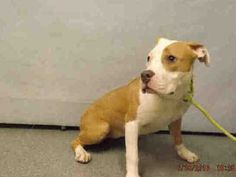 Manhattan Center LADY – A1079520 **SAFER: EXPERIENCED HOME** FEMALE, TAN / WHITE, PIT BULL MIX, 6 mos OWNER SUR – ONHOLDHERE, HOLD FOR ID Reason NEW BABY Intake condition UNSPECIFIE Intake Date 06/30/2016, From NY 11201, DueOut Date 06/30/2016