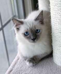 My new rag doll kitty - Gracie.  Owned by JMcKain