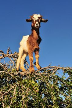 Goats in trees by f a b, via Flickr - awesome and cute!
