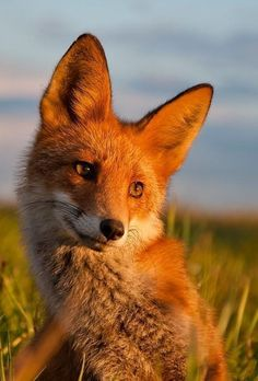 Stunning close-up of a red fox in a meadow!