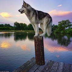 Le wild husky