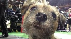 Extreme snout close-ups! Westminster dogs snap selfies