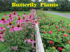 Butterfly Plants List- Butterfly Flowers and Host Plant Ideas Attract more butterflies to your garden with a thoughtful mix of native plants and continuous-blooming annuals- Butterfl. Butterfly Garden Plants, Butterfly Flowers, Planting Flowers, Butterflies, Zinnia Garden, Flying Flowers, Butterfly Pictures, Butterfly Design, Monarch Butterfly