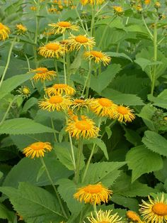 Inula helenium: Elecampane : root: volatile oils (helenin, camphor) bitters, mucilage stim. expectorant + anti-tussive +diaphoretic + warming digestive tonic/relaxant use for dry irritating coughs w mucous!! 3-5 mL (1:5 in 25%) TID