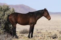 Le Cheval de Namibie - Un Cheval de Namibie dans le désert