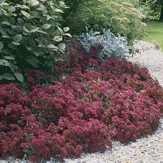 sedum ruby glow -     6 in. to 12 in.  Spread 1 ft. to 3 ft.  Growth Habit Clumps