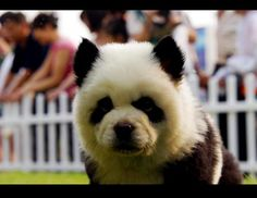 Chow Chow bred to look like a panda. i love pandas and chow chow AHHH I WANT ONE! Panda Puppy, Panda Bear, Panda Chow Chow, Baby Animals, Cute Animals, Paws And Claws, Animal Paintings, Animal Pictures, Animals Photos