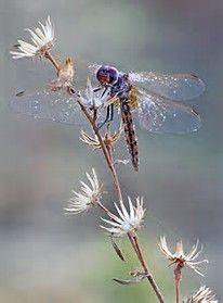 Beautiful Dragonfly Heart