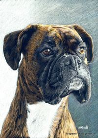 The Portrait -Boxer Dog A4 Size COLOUR PENCIL Art Print by Russellart