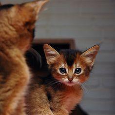 Somali kittens.