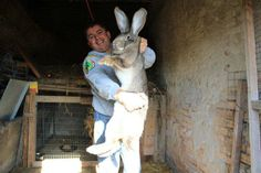 is this a flemish giant??
