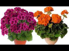Sardunya Çiçeğim Neden Sarardı? Bakımı ve Püf Noktaları - YouTube Potted Plants, Container Gardening, House Plants, Home And Garden, Vegetables, Flowers, Instagram, Youtube, Gardens