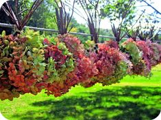 Drying hydrangeas.  Been doing this for years...love it!