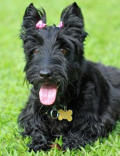 Abbey the Scottish Terrier
