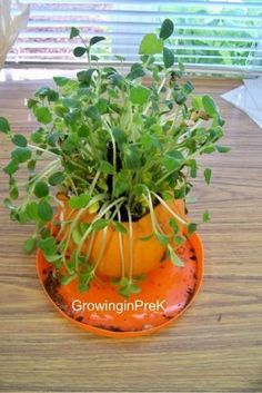 """Open a pumpkin.  Leave the """"guts"""" inside.  Add some soil, and just a little water.  Look at all of the pumpkin plants that we'll have. Great to do with kids."""