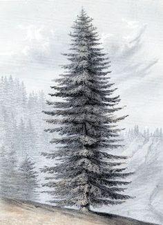 Giant Christmas Tree - Botanical print | The Graphics Fairy | Use for an art print or Christmas Cards