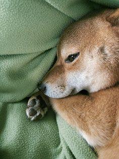 shiba snuggles