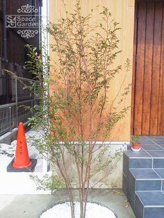 植栽 シンボルツリー 落葉樹 ヒメシャラ
