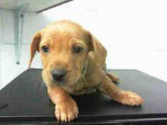 SALLY is an adoptable Dachshund Dog in Houston, TX.  ...